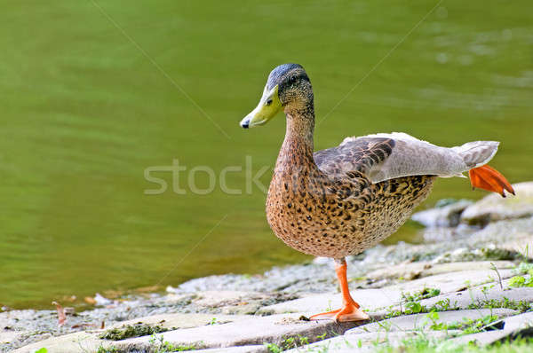 domestic duck on background pond Stock photo © alinamd
