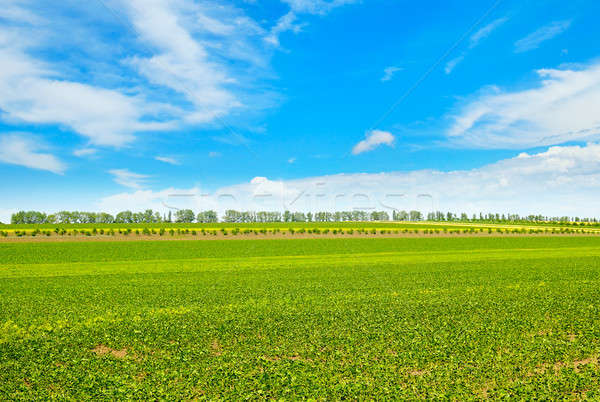 Spring field with young vegetation and blue cloudy sky Stock photo © alinamd