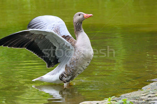 goose with outstretched wings Stock photo © alinamd