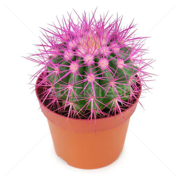 Kaktusz edény izolált fehér háttér szín Stock fotó © alinamd
