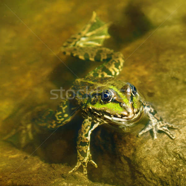 Comestibles grenouille boueux eau nature fond Photo stock © alinamd