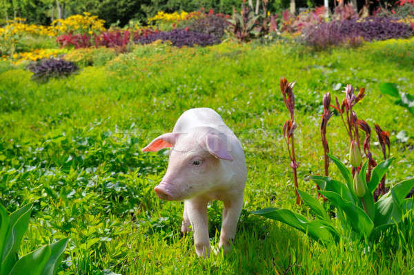 Stock photo: pig on a background of green grass and flowers