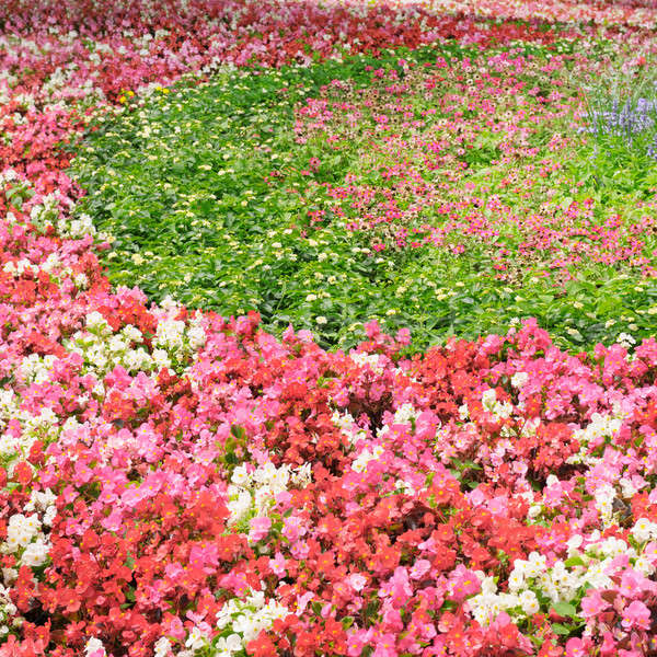 bright summer flowers Stock photo © alinamd