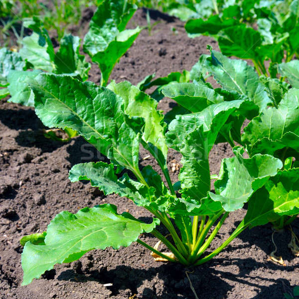 Stock photo: beet tops on the background soils