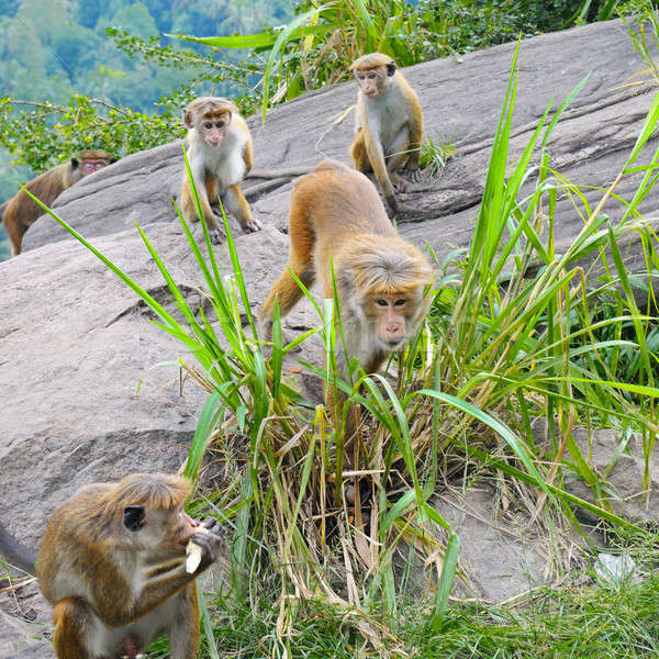 male monkey and his family in the wild Stock photo © alinamd