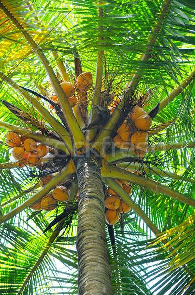 coconut tree background Stock photo © alinamd