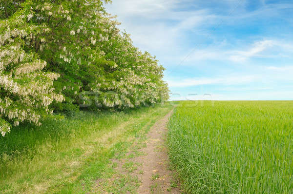 field,thickets flowering acacia and country road Stock photo © alinamd