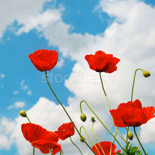 scarlet poppies on a background of the cloudy sky Stock photo © alinamd
