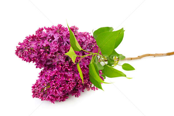 Sprig of blossoming lilac isolated on white background Stock photo © alinamd