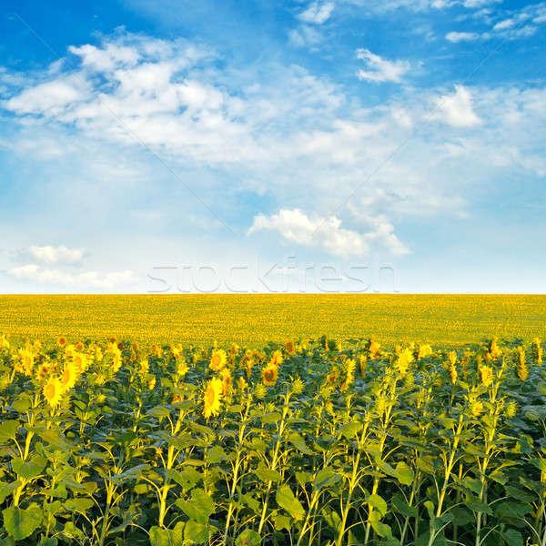 Veld zonnebloemen bewolkt hemel natuur Stockfoto © alinamd