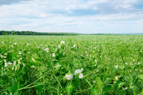 field with flowering peas and blue sky Stock photo © alinamd