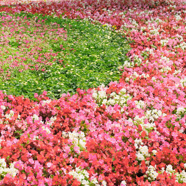 flower bed with bright summer flowers Stock photo © alinamd
