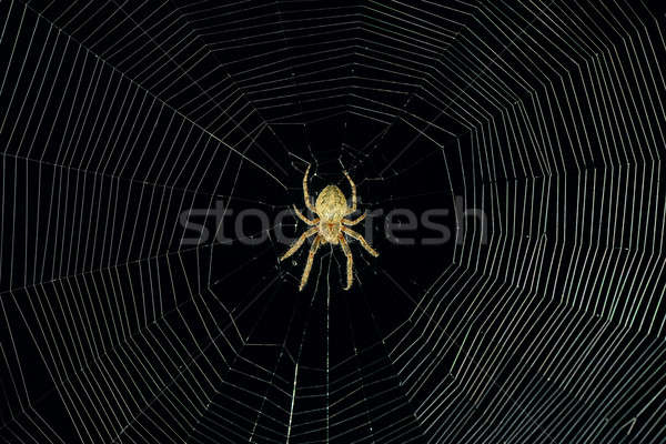 dangerous spider web background at night Stock photo © alinamd