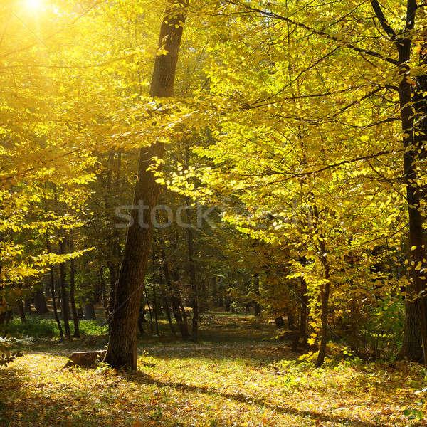 Stok fotoğraf: Sonbahar · orman · sarı · yaprakları · gün · batımı · ağaç