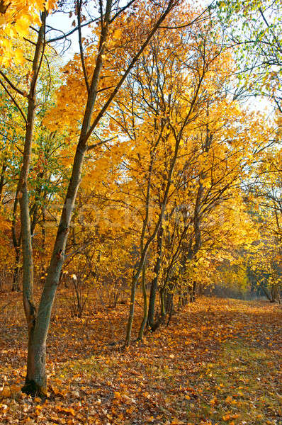 Zdjęcia stock: Objętych · pozostawia · jesienią · lasu · niebo · drzewo