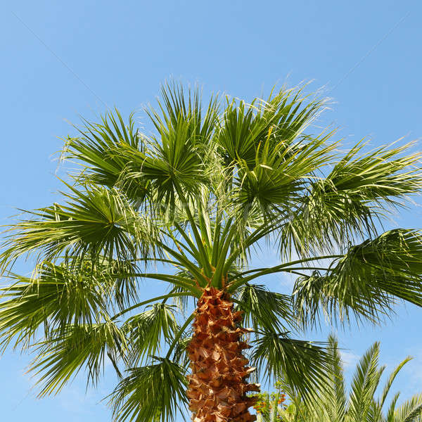 tropical palm on background of blue sky Stock photo © alinamd