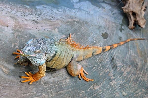 large, arboreal, tropical American lizard with a spiny crest alo Stock photo © alinamd