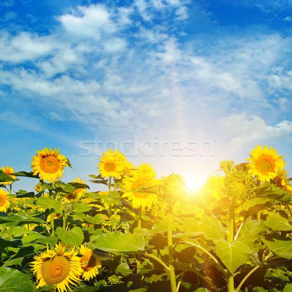 Veld zonnebloemen zonsopgang bloem wolken natuur Stockfoto © alinamd