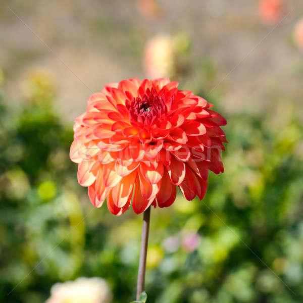 Dalia skupić kwiat płytki charakter projektu Zdjęcia stock © alinamd