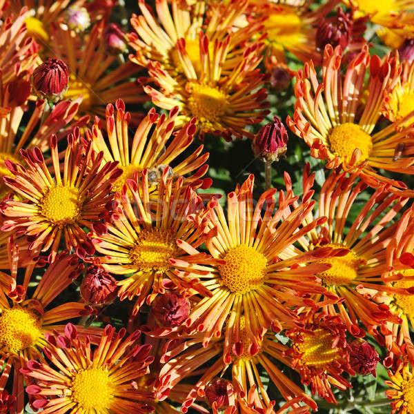 Floraison parterre de fleurs lumineuses fleurs nature vert Photo stock © alinamd