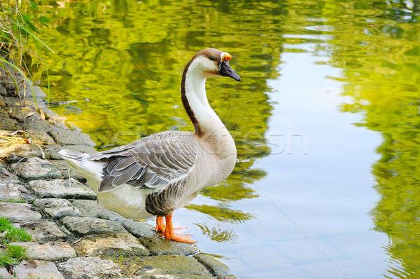 gray goose on the lake Stock photo © alinamd
