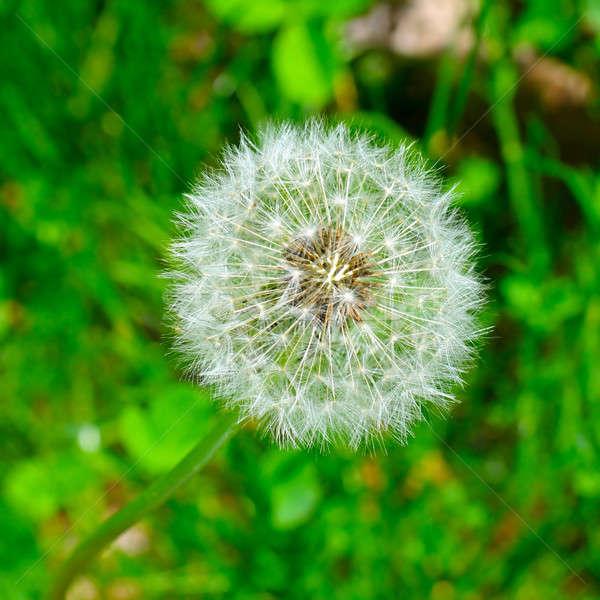 семян одуванчик зеленая трава цветок области зеленый Сток-фото © alinamd