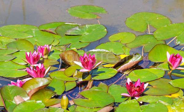 розовый цветы воды пруд весны Сток-фото © alinamd