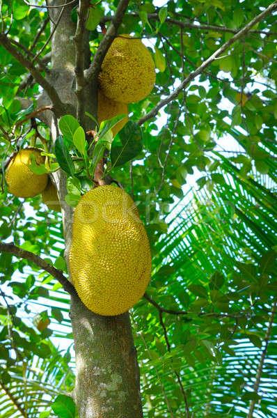 Ripe breadfruit (Artocarpus altilis) on a tree Stock photo © alinamd