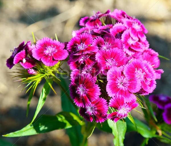 Farbenreich Nelke Blumen verschwommen Blume Textur Stock foto © alinamd