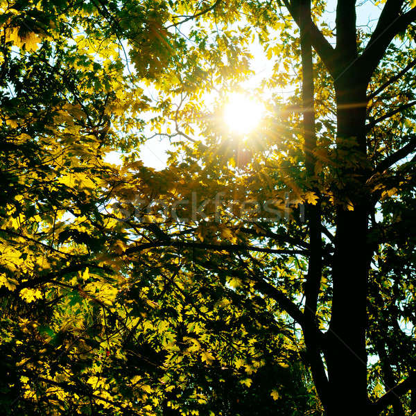 the sun's rays penetrate through the leaves and branches of the  Stock photo © alinamd