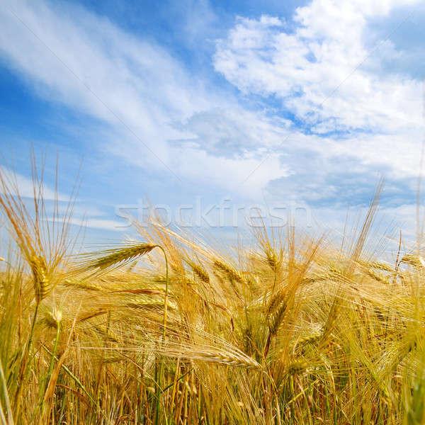 области зрелый ушки пшеницы Blue Sky синий Сток-фото © alinamd