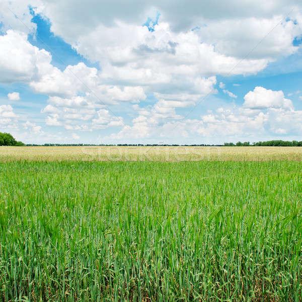緑 麦畑 青 曇った 空 雲 ストックフォト © alinamd