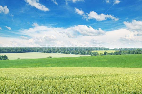 Pitoresco verde campo blue sky primavera grama Foto stock © alinamd