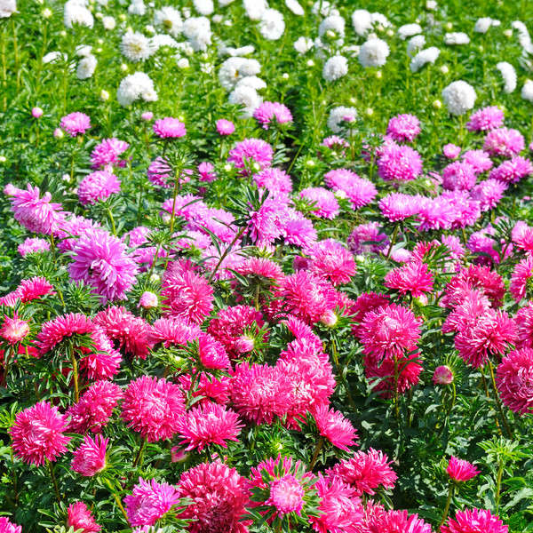 Virágágy tarka fókusz piros virág sekély Stock fotó © alinamd