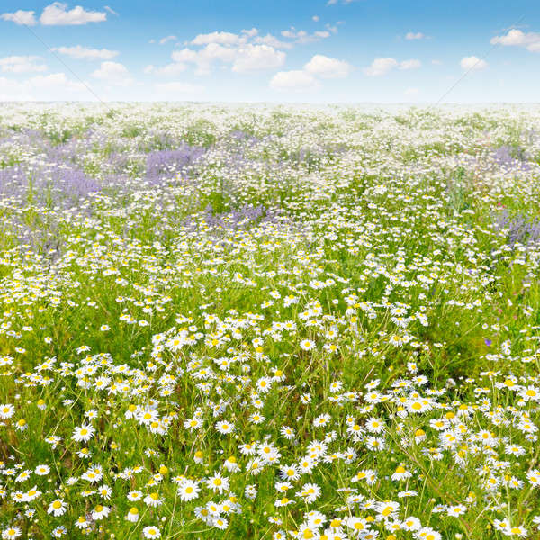 Field with daisies and blue sky, focus on foreground. Shallow de Stock photo © alinamd