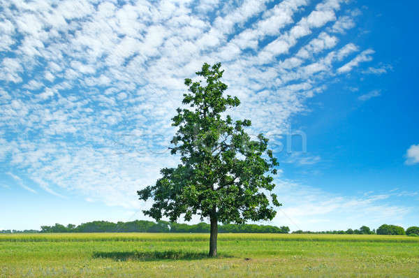 Oak tree on green meadow and sky with light clouds. Stock photo © alinamd