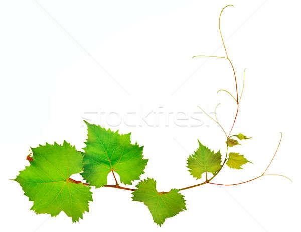 Wijnstok bladeren geïsoleerd witte voorjaar natuur Stockfoto © alinamd