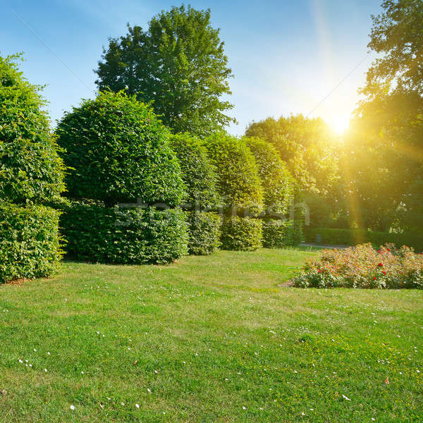 Hedges and ornamental shrub in a summer park. Bright Sunrise in  Stock photo © alinamd