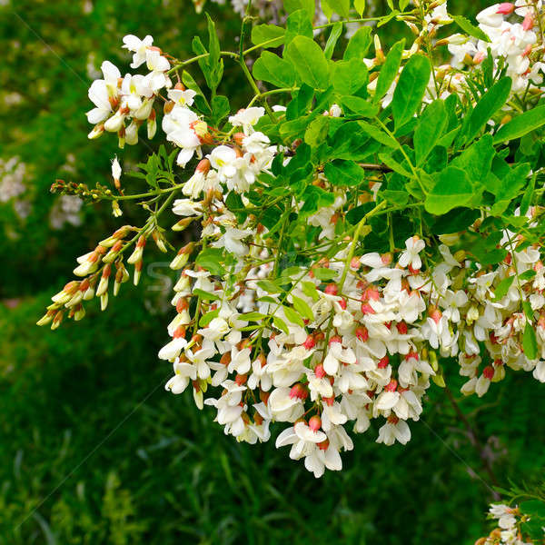 flowers and green leaves of acacia Stock photo © alinamd
