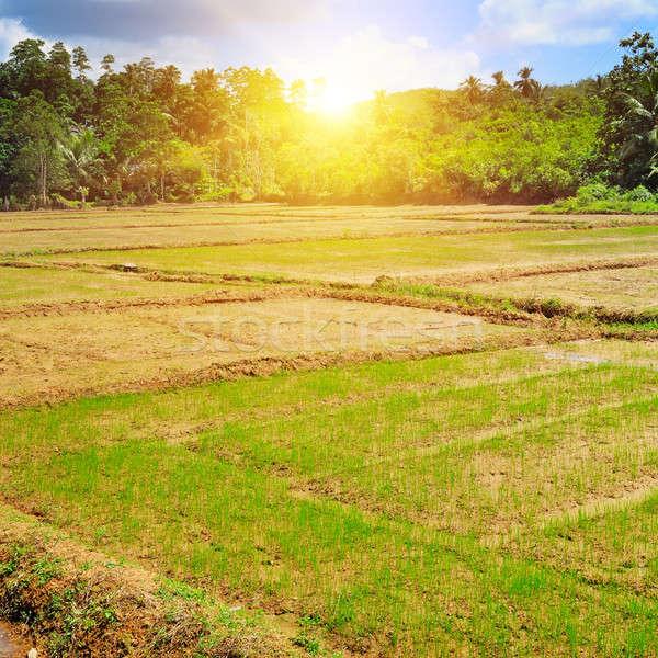 paddy field and sunrise Stock photo © alinamd