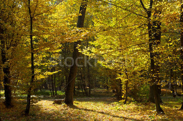 autumn forest and fallen yellow leaves Stock photo © alinamd