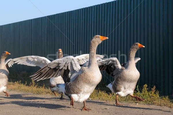 Iç kaz çiftlik doğa yaz kuş Stok fotoğraf © alinamd