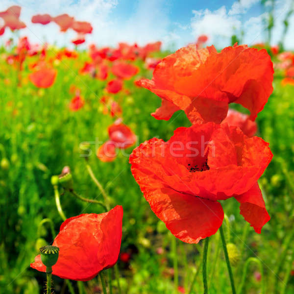 Field with scarlet poppies. Stock photo © alinamd