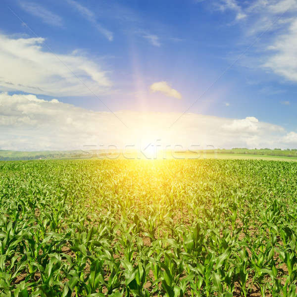 corn field and sunrise on blue sky Stock photo © alinamd