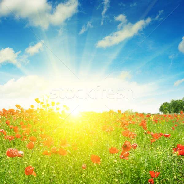 Stockfoto: Veld · klaprozen · zon · blauwe · hemel · bloem · zonsondergang