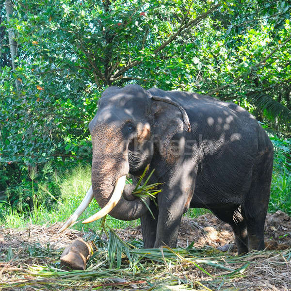 Asian elephant with tusks in the forest Stock photo © alinamd