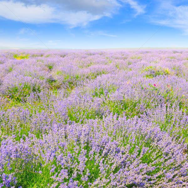 Lavendel veld blauwe hemel hemel natuur landschap Stockfoto © alinamd