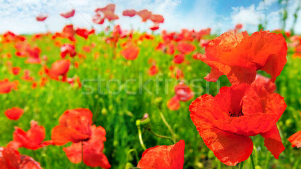 Domaine coquelicots accent premier plan peu profond large Photo stock © alinamd
