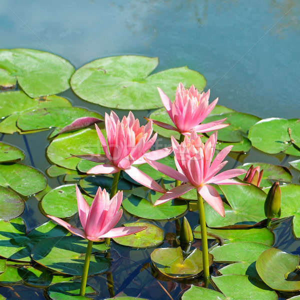 pink flowers of water lilies in a pond Stock photo © alinamd