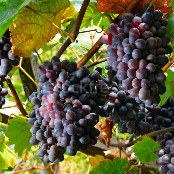 bunches of grapes on the vine Stock photo © alinamd